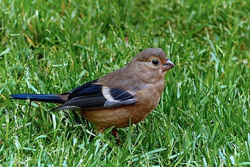 Bird, Bullfinch, Pyrrhula, Female, Young, Foraging