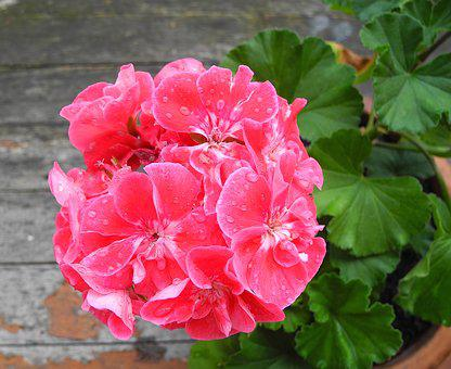 Geranium, Flower, Pink Flower, Potted Flower