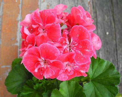Geranium, Flower, Pink Geranium, Pink, Potted Flower