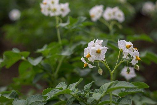 Flower Of Potato, Potato Field, Potatoes, Flowers