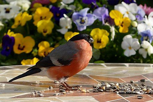 Bird, Bullfinch, Pyrrhula, Male, Young, Foraging