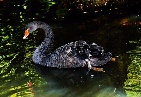 Mourning Swan, Black Swan, Australia, Animal, Black