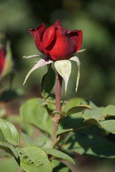 Rose, Burgundy 81, Rosaceae, Red, Purple, Blossom