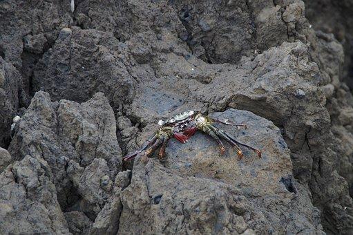 Crabs, Rock, Bank, Meeresbewohner, Sea, Ocean, Coast