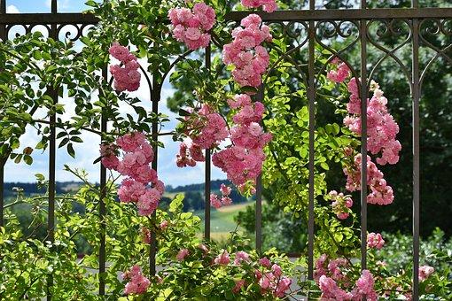 Rose, Pink, Rose Flower, Floribunda, Fragrant