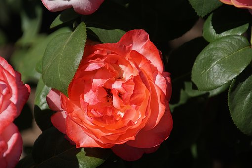 Rose, Aachen Cathedral, Rosaceae, Pink, Blossom, Bloom