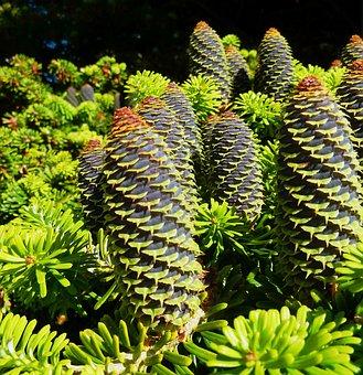 Tap, Conifer, Conifers, Green, Pine Cones, Larch, Pine