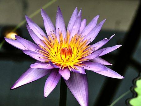 Waterleliebloem, Water Lily, Flower, Water Flower
