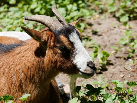 Animal, Goat, Biquette, Kids, Nature, Animals