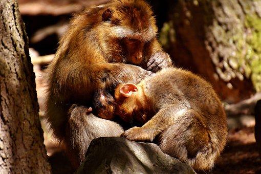 Ape, Baby Monkey, Loving, Delouse, Barbary Ape