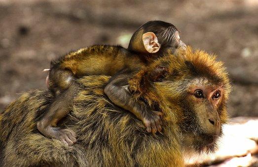 Ape, Baby Monkey, Mama, Child, Barbary Ape