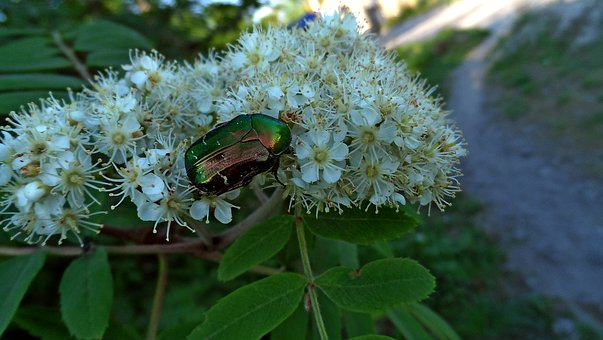 Beetle, Flowers, Greens, Insect, Garden Flower, Plant
