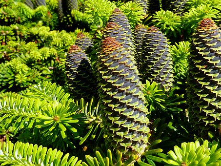 Tap, Conifer, Conifers, Green, Pine Cones, Larch, Pine
