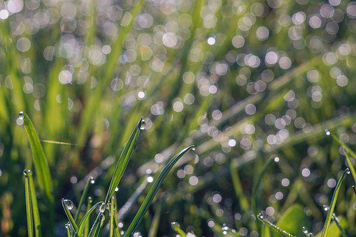 Grass, Rosa, Drops Of Water, Meadow, Morning, Green