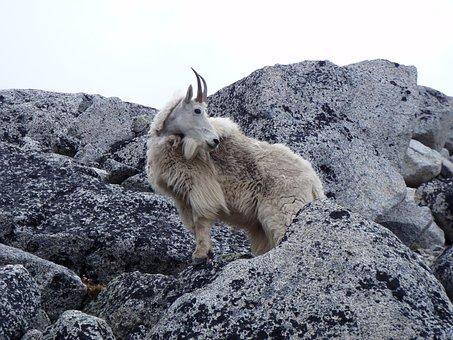 Mountain, Goat, Cascades