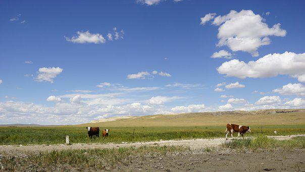 Blue Sky And White Clouds, Prairie, Walking, Cow
