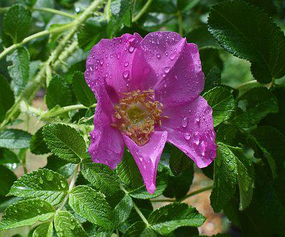 Hot Pink Rugosa With Raindrops, Close-up, Raindrop