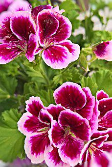Flower, Geranium, Scented Geranium, Flowers, Purple