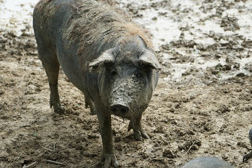 Sow, Domestic Pig, Old Breed