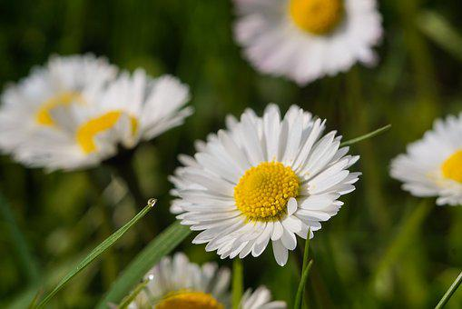 Daisy, Flower, White, Meadow, A Drop Of Water, Rosa