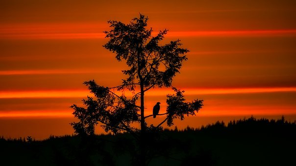 Sunset, Dusk, Bald Eagle, Bird, Wildlife, Silhouette