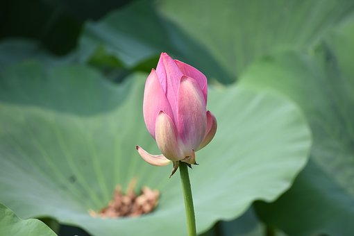 Bud, Lotus, Close-up, Flower, Summer, Beijing Zoo