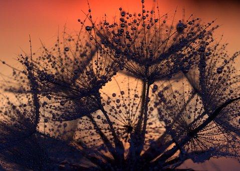 Dandelion, Sunset, Drops, Evening