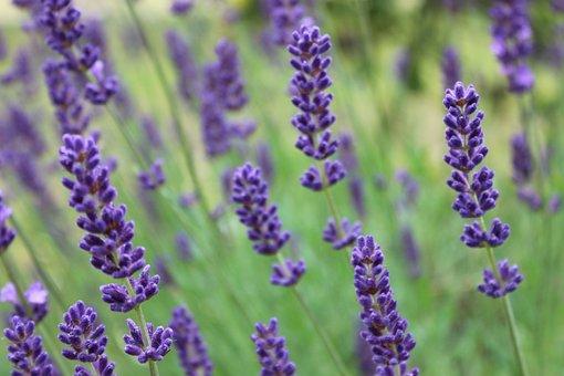 Lavender, Provence, Perfume, Fragrance, Smell