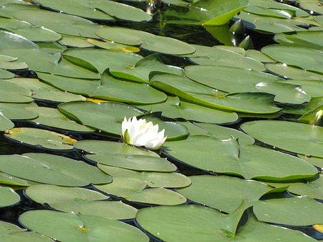 Plant, Flower, Nature, Leaf, Lilly, Summer, Park