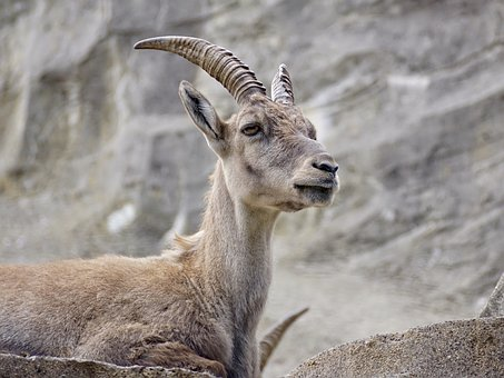 Capricorn, Ungulate, Horns, Alpine, Ibex, Alpine Ibex