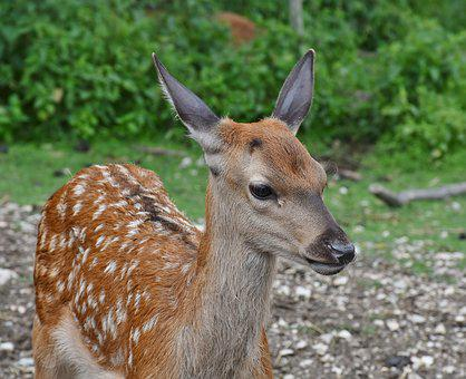 Roe Deer, Kitz, Young, Wild, Bambi, Animal World