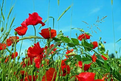 Red Poppy, Klatschmohn, Poppy, Blossom, Bloom, Flowers