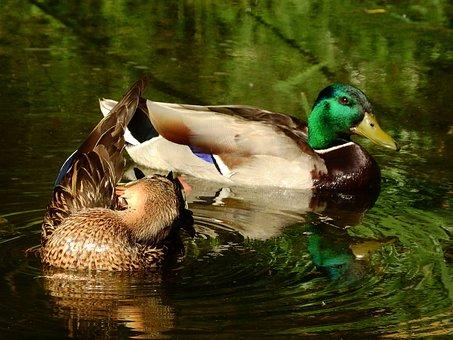 Mallard Duck, Anas Platyrhynchos, Female And Male