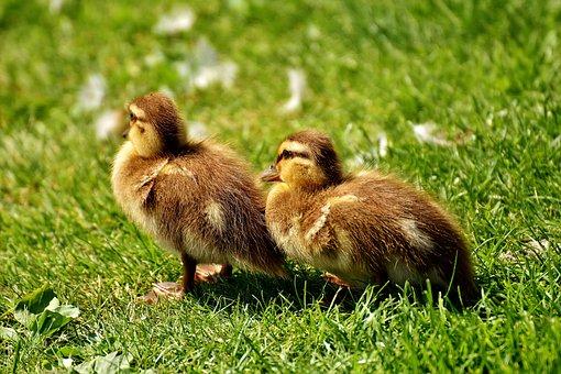 Mallard, Chicks, Baby, Small, Cute, Sweet, Funny