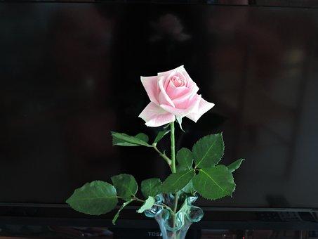 Pink, Birthday, Pastel, Flower