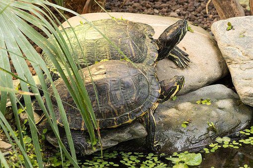 Turtle, Water Turtle, Reptile, Panzer, Tortoise Shell