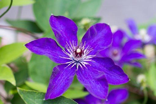 Clematis, Viola, Flower, Violaceae, Violet, Purple