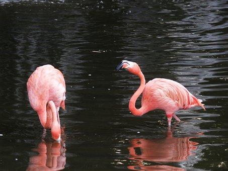 Famingo, Water Bird, Exotic Bird