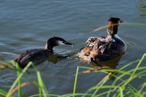 Great Crested Grebe, Chicks, Feed, Water Bird, Water
