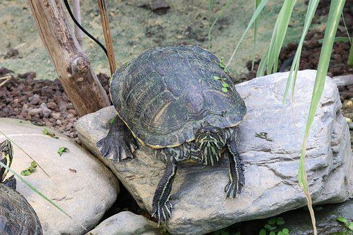 Turtle, Water Turtle, Reptile, Panzer, Armored