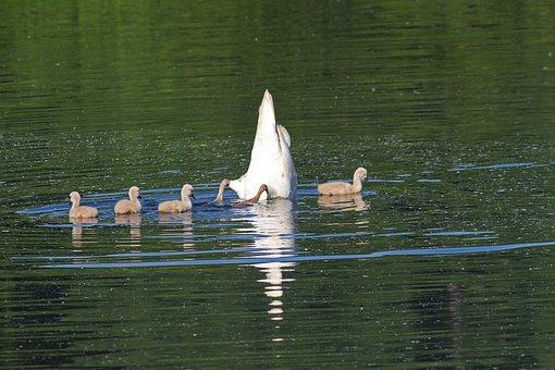 Swans, Chicks, Water, Diving, Waters, Foraging, Swan