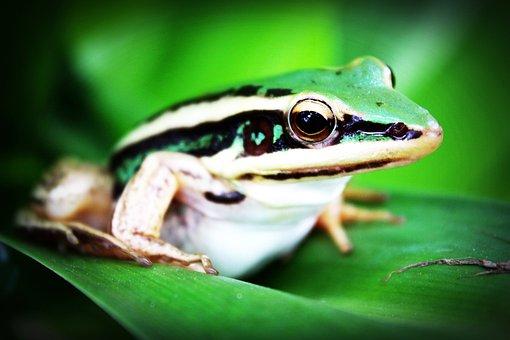 Treefrog, Amphibian, Frog, Agalychnis Callidryas