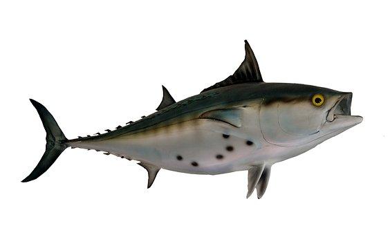 Bonito Fish, Taxidermy, Fish Mount, Mounted, Animal