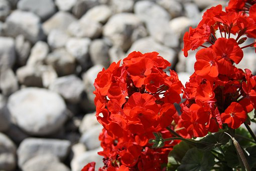 Red, Flower, Stones, Pelargonium, Flowering Plant