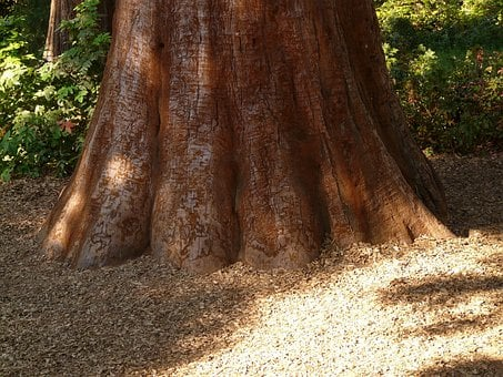 Sequoia, Tribe, Bark, Large, Powerful, Conifer, Tree