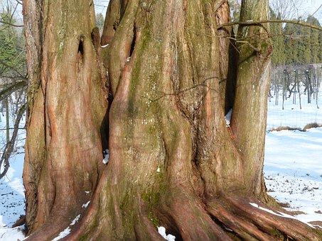Sequoia, Log, Tribe, Geoskop Redwood