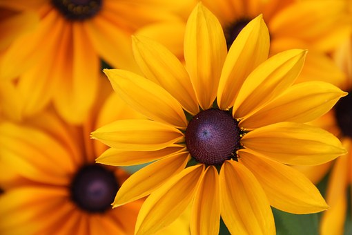 Yellow Coneflower, Rudbeckia Fulgida, Summer Flower