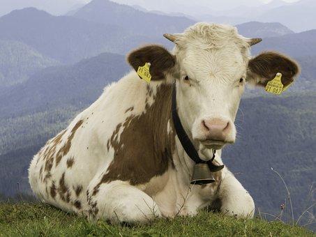 Calf, Alm, Alpine, Upper Bavaria