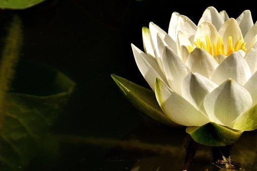 Water Lilies, White, Summer, Pond Plant, Aquatic Plant