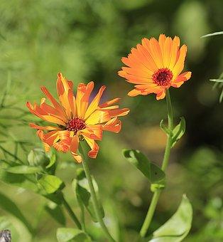 Calendula, Flower, Summer, Beauty, Closeup, Heat